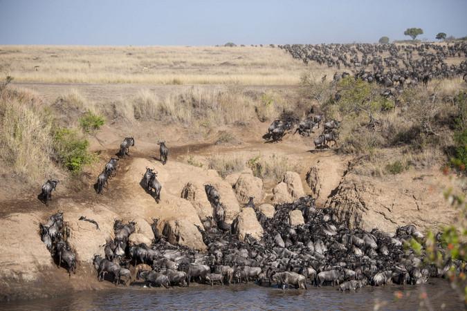 Wildebeest crossing the Mara River in Maasai Mara, Kenya
