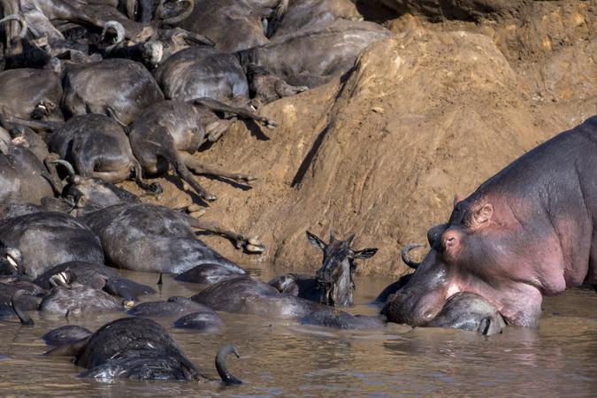 Hippo and dead wildebeest in Mara River in Maasai Mara, Kenya