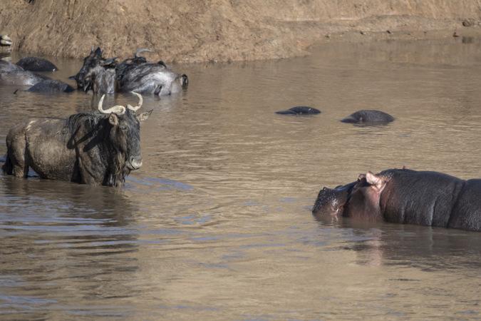 Hippo approaching wildebeest in Mara River in Maasai Mara, Kenya