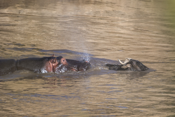 Hippo chasing wildebeest in Mara River in Maasai Mara, Kenya
