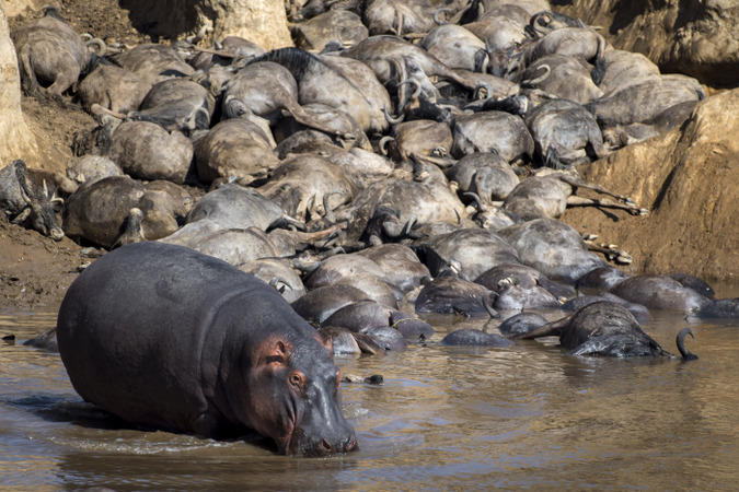 Hippo on the bank of the Mara River with dead wildebeest in Maasai Mara, Kenya