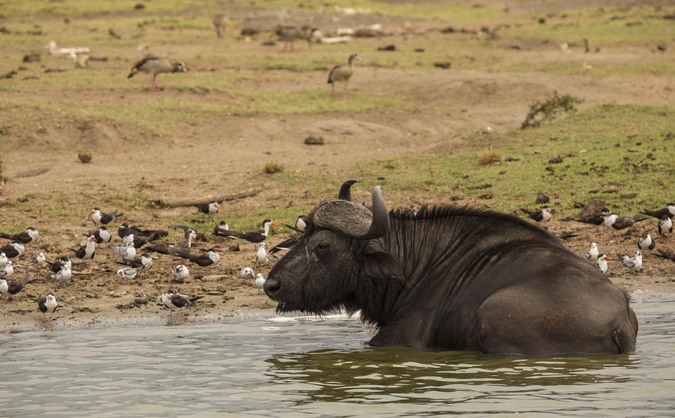 Image result for Game drive and boat safari on Kazinga channel