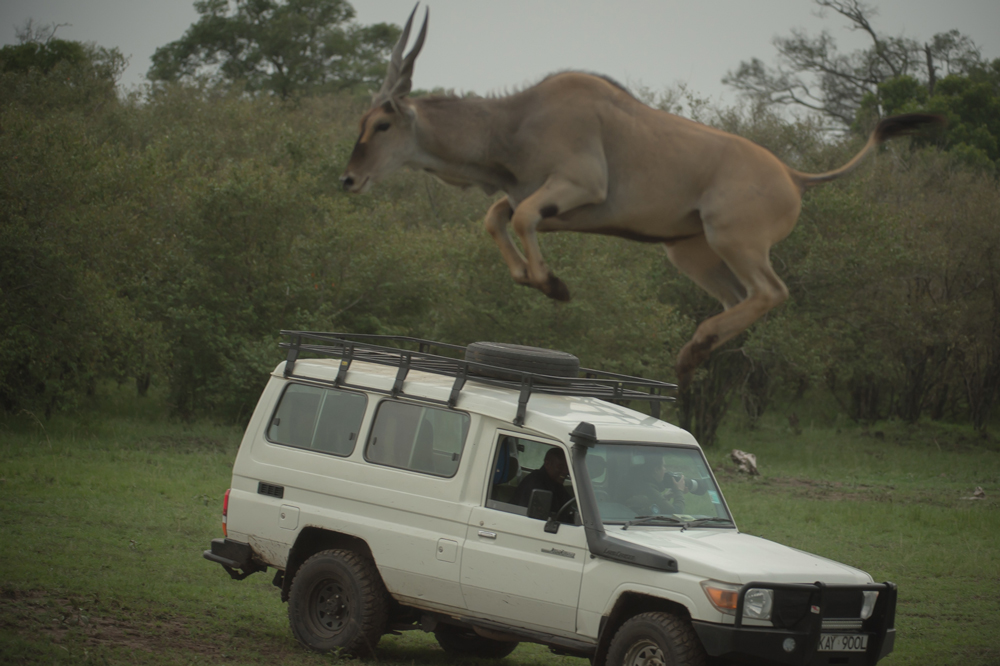 One of the eland takes an unbelievably high jump
