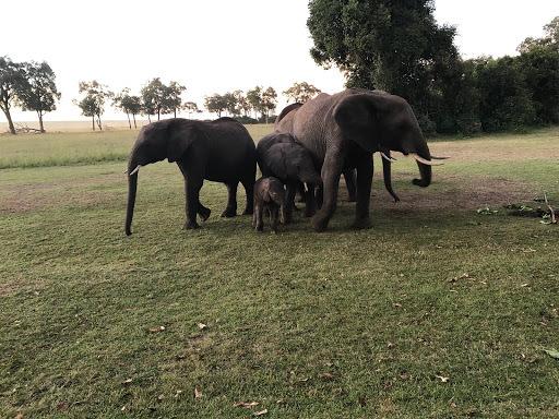 Elephants protecting newborn baby in Maasai Mara, Kenya
