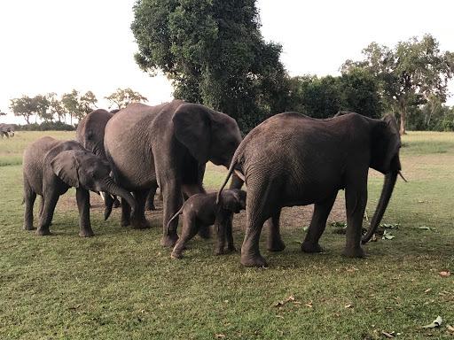 Baby elephant with herd in Maasai Mara, Kenya