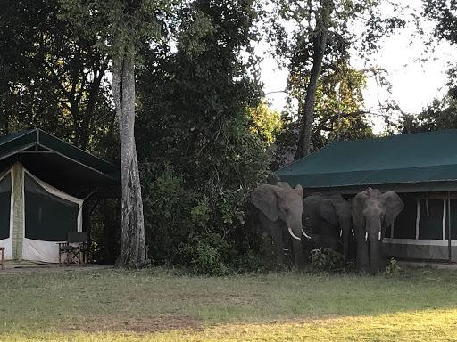 Elephants roam a tented camp in Maasai Mara, Kenya