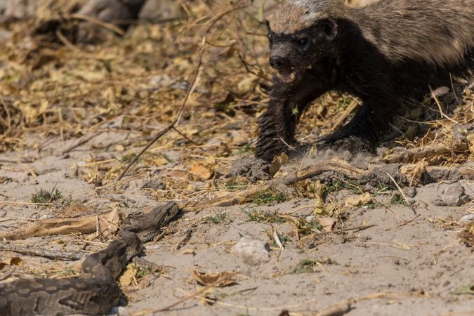 Honey badger approaching African rock python at Chobe River