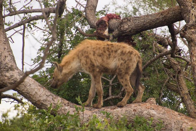 Spotted hyena in a tree in Klaserie Private Nature Reserve, South Africa