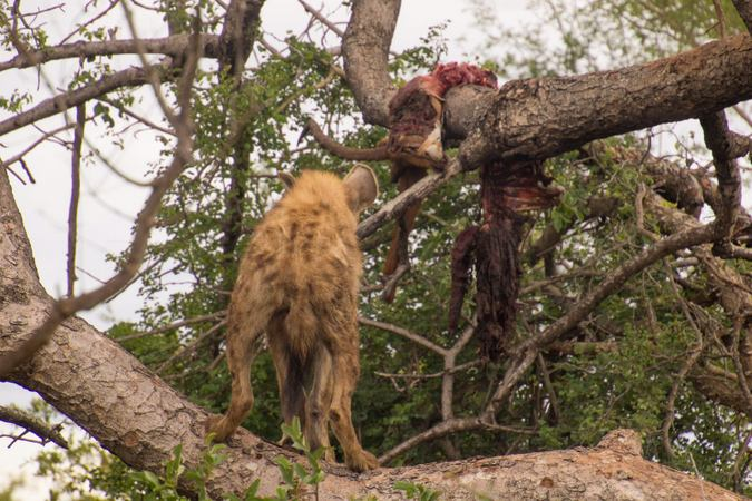 Spotted hyena eyeing an impala carcass in a tree in Klaserie Private Nature Reserve, South Africa