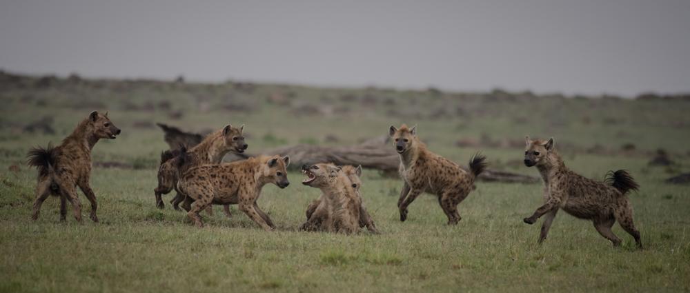A clan of hyenas