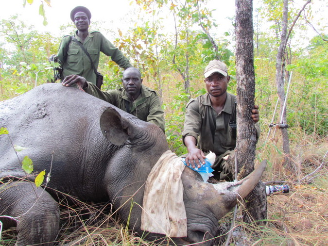 Rhino being fitted with transmitter in North Luangwa, Zambia