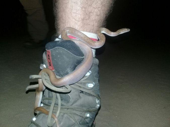 Brown house snake curled around a shoe, reptile