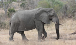 Kruger National Park elephant bull