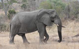 Kruger National Park elephant bull
