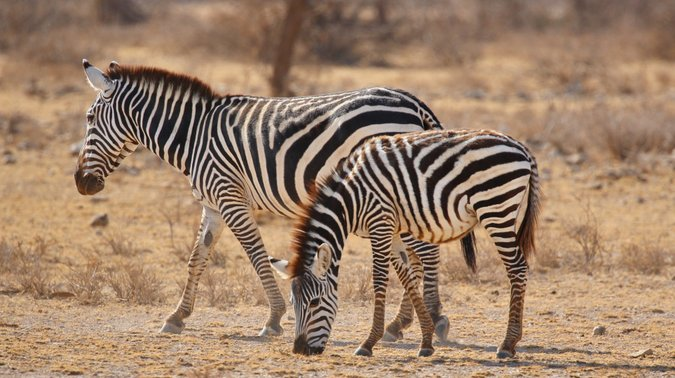 Zebras in the wild, Kenyan wildlife