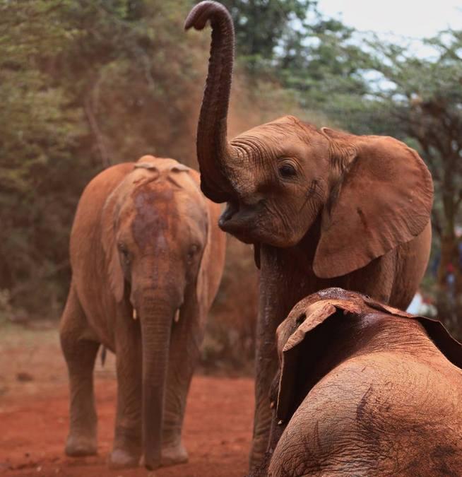 African elephants in the wild, Kenyan wildlife