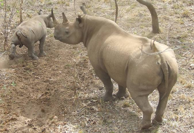 A black rhino and her calf in North Luangwa, Zambia