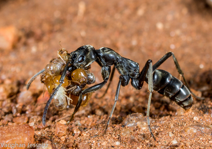 Matabele ant, Pachycondyla analis