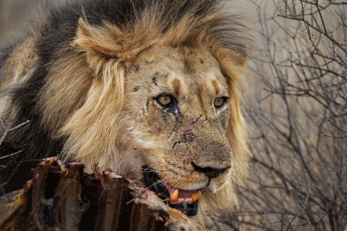 Male lion with giraffe carcass in Kgalagadi Transfrontier Park