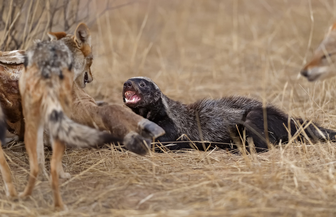 Honey badger being aggressive with black-backed jackal in Kgalagadi Transfrontier Park