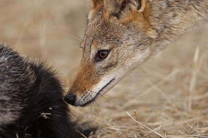 Black-backed jackal sniffing honey badger in Kgalagadi Transfrontier Park