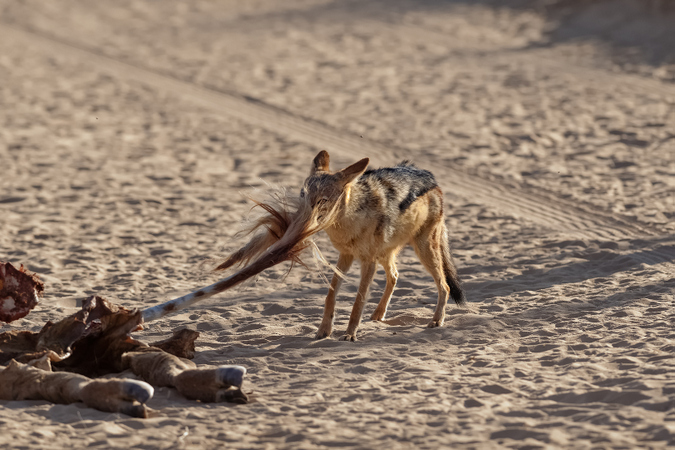 Black-backed jackal pulling the tail of a giraffe carcass in Kgalagadi Transfrontier Park