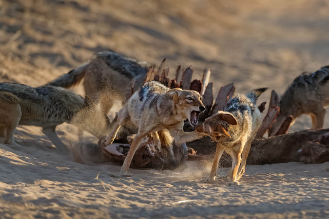 Black-backed jackals with giraffe carcass in Kgalagadi Transfrontier Park