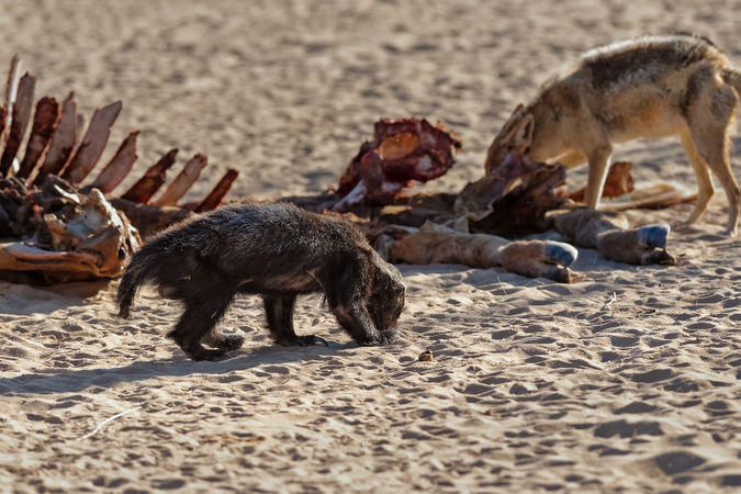 Honey badger and black-backed jackal with giraffe carcass in Kgalagadi Transfrontier Park