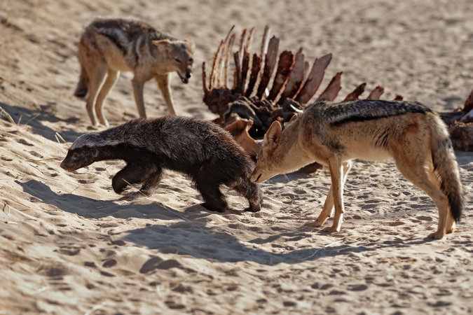 Black-backed jackal sniffing honey badger with giraffe carcass in Kgalagadi Transfrontier Park