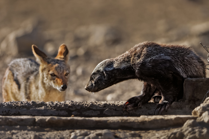 Honey badger and black-backed jackal at waterhole in Kgalagadi Transfrontier Park