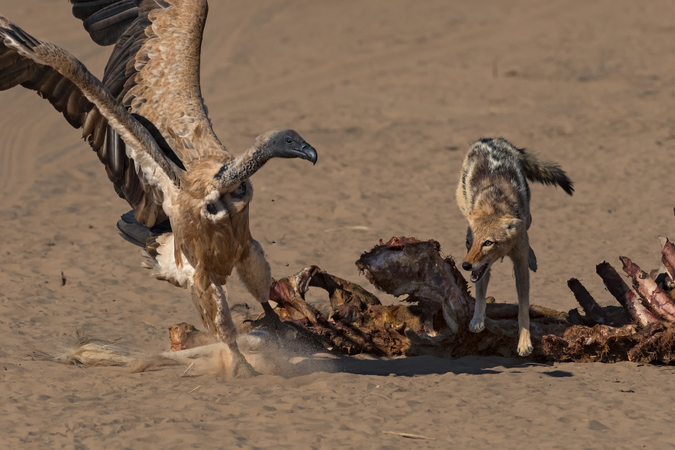 Vulture and black-backed jackal with giraffe carcass in Kgalagadi Transfrontier Park