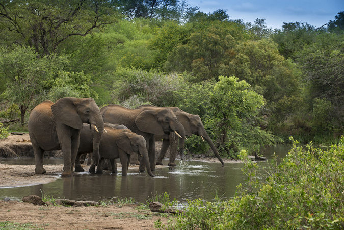 Elephants drinking at river at Tanda Tula in Greater Kruger