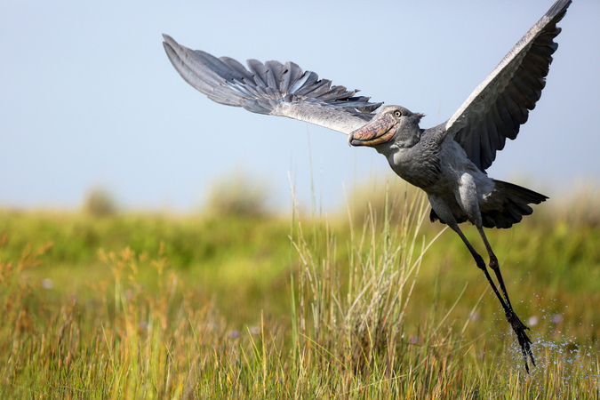 Shoebill flying in Uganda swamps