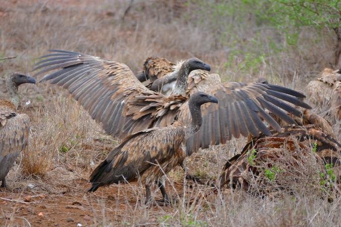 white-backed vultures with carcass