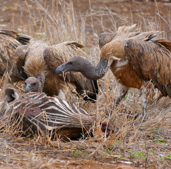 white-backed vultures at zebra carcass