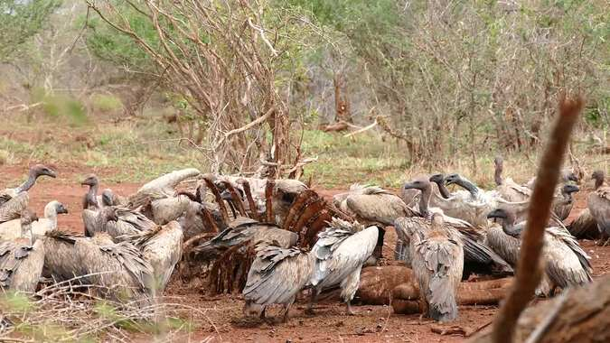 white-backed vultures at giraffe carcass