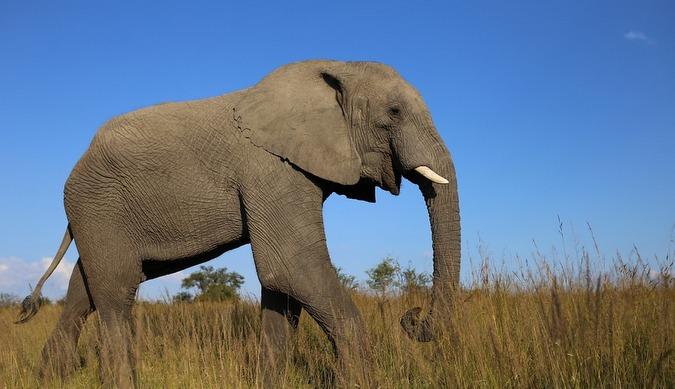 African elephant in Zimbabwe grassland