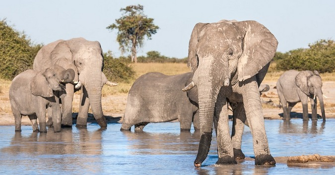 African elephant herd at waterhole in Africa