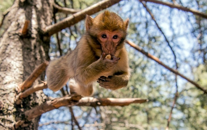 Magot monkey in Morocco