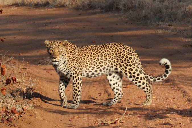 Leopard crossing dirt road