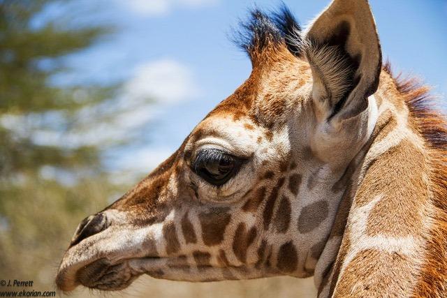 Close up of Tala the giraffe at Ekorian's Mugie Camp in Mugie Conservancy, Laikipia, Kenya