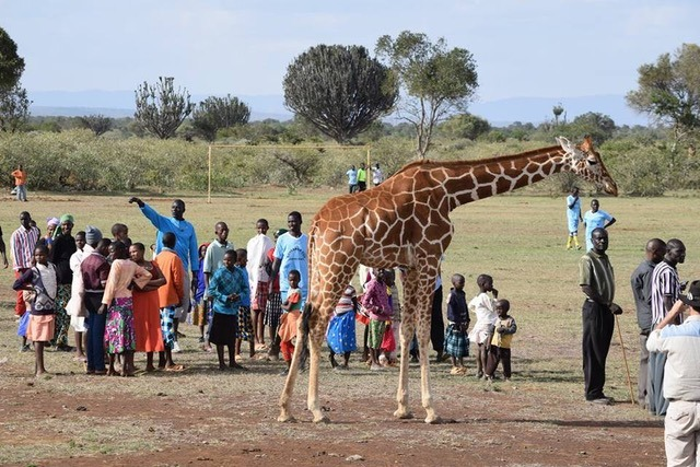 Tala the giraffe grown up and meeting the locals at Ekorian's Mugie Camp in Mugie Conservancy, Laikipia, Kenya