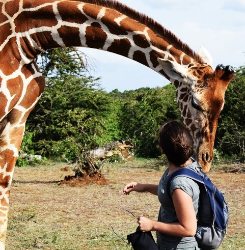 Tala the giraffe inspecting a backpack at Ekorian's Mugie Camp in Mugie Conservancy, Laikipia, Kenya