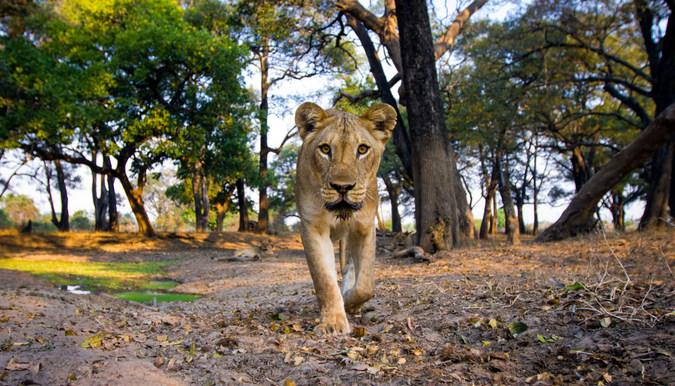 Lion approaching camera