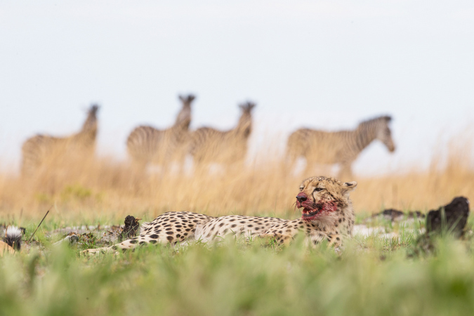 Cheetah lying down with meal