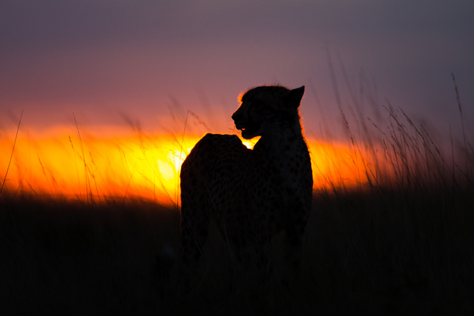 Cheetah with sunset in background