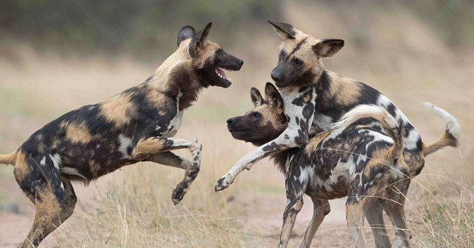 5 Facts you did not know about African wild dogs - Africa Geographic