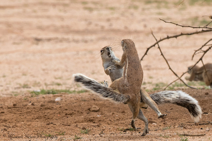 Ground squirrel fighting, Kgalagadi Transfrontier Park, South Africa