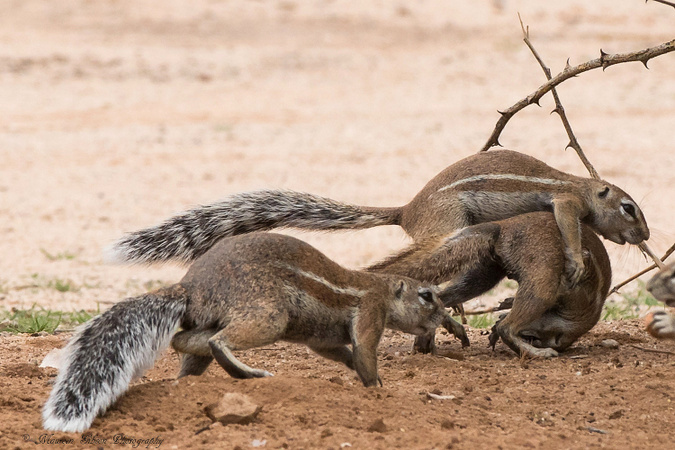 Three ground squirrels, Kgalagadi Transfrontier Park, South Africa