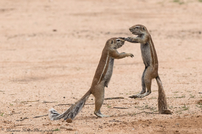 Two ground squirrels, Kgalagadi Transfrontier Park, South Africa